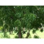 Ним - дерево XXI века