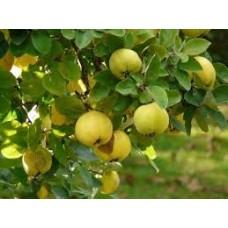 Бильва, баэль, Бенгальская айва, Золотое яблоко