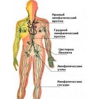 Лимфатическая система — канализация организма.