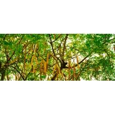 Моринга – растение, которое убивает рак и останавливает диабет